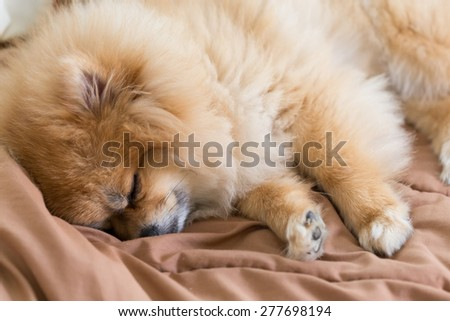 cute pet in house, pomeranian dog sleeping on the bed at home - stock photo
