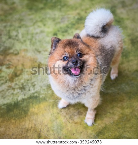 cute pet, pomeranian puppy dog