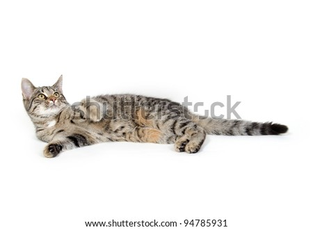Cute pet tabby cat laying down and playing on white background