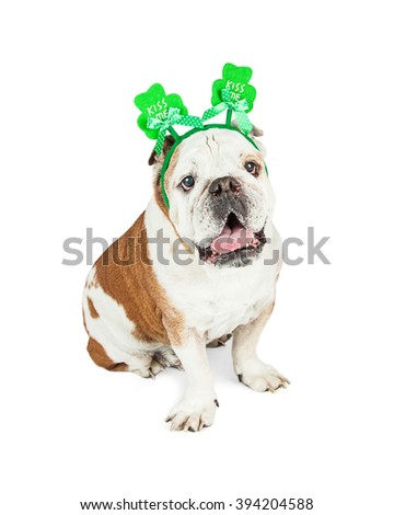 Cute photo of Bulldog breed dog sitting on white background while wearing a green clover St. Patrick's Day headband with the words Kiss Me