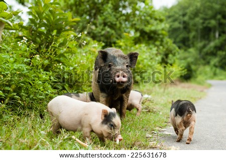 cute pig with piglets on countryside road. - stock photo