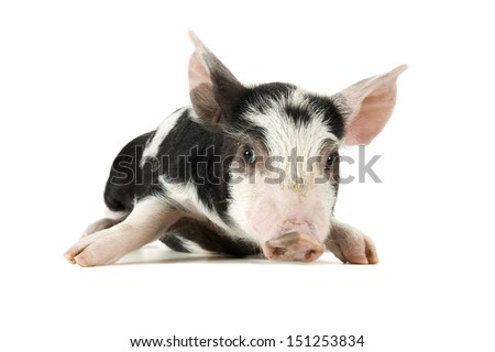Cute piglet isolated on white. Soft shadow under image. - stock photo