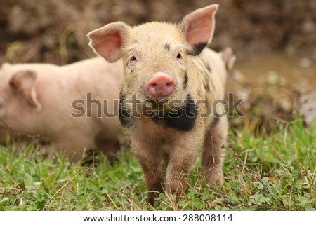 Cute piglet on the meadow - stock photo