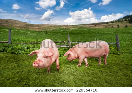 Cute pigs grazing at summer meadow at mountains pasturage under blue sky. Organic agriculture natural background - stock photo