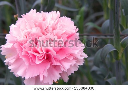 cute pink carnation