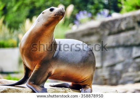 Cute playful California sea lions (Zalophus californianus) on rock background. - stock photo