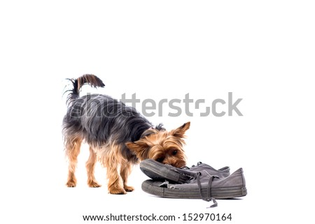 Cute playful little Yorkie, or Yorkshire terrier, chewing on a pair of old trainers, isolated on white with copyspace - stock photo