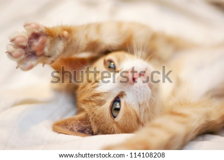 Cute Playful Orange kitten - stock photo