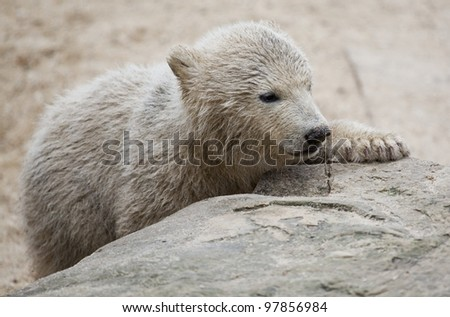 cute polar bear - stock photo