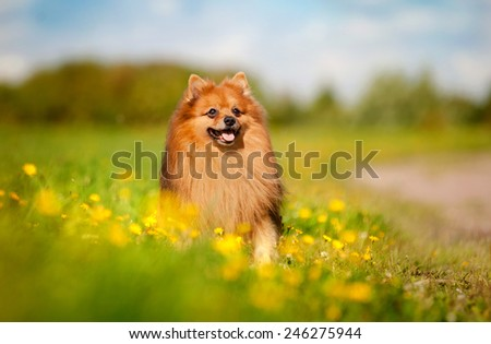 cute pomeranian dog on the flowering field - stock photo