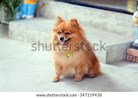 cute pomeranian dog portrait at home - stock photo