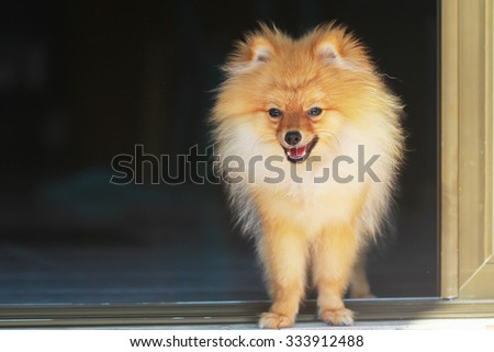 cute pomeranian dog portrait at home, puppy. - stock photo