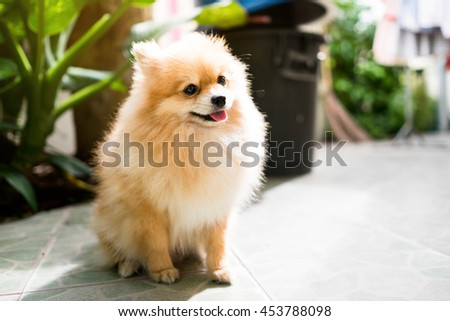 Cute Pomeranian dog sits happily.