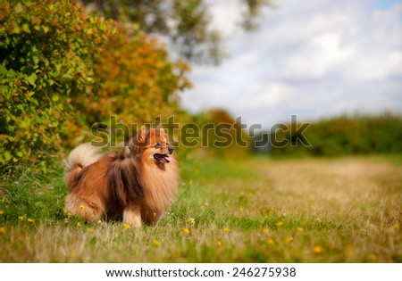 cute pomeranian dog standing on the field - stock photo