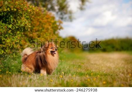 cute pomeranian dog standing on the field - stock photo