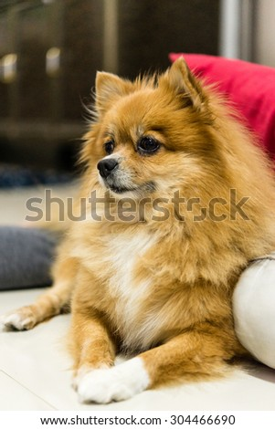 Cute pomeranian lying on the crouch staring to the right side - stock photo