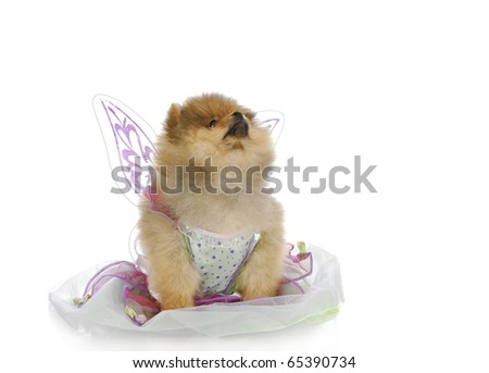 cute pomeranian puppy dressed up like an angel looking up with reflection on white background