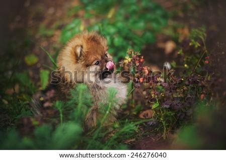 cute Pomeranian puppy licks muzzle tongue outdoors - stock photo