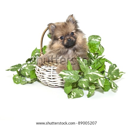 Cute Pomeranian puppy sitting in a basket with ivy around him. On a white background.
