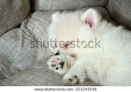 cute pomeranian puppy sleeping in the bed close up - stock photo