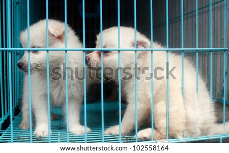Cute pomeranian pups inside a cage on display for sale - stock photo