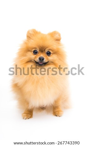 Cute pomeranian spitz - stock photo