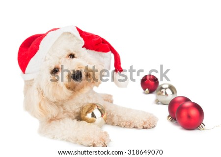 Cute poodle dog in santa costume posing with Christmas ornaments