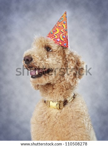 cute poodle dog wearing party hat - stock photo