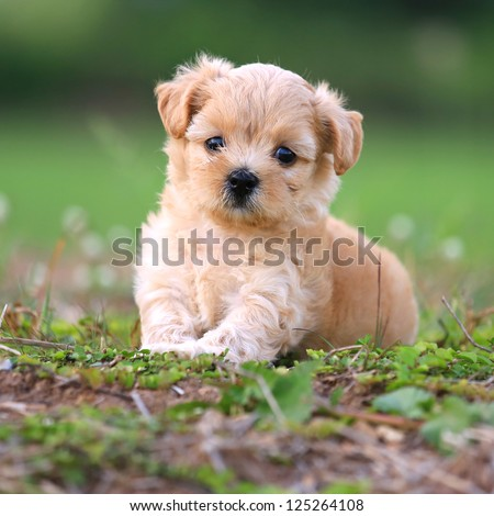 Cute Poodle Puppy - stock photo