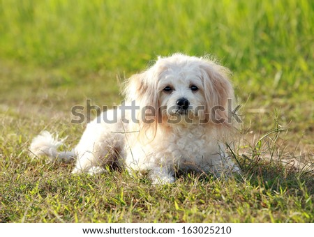 Cute Poodle sitting on green grass