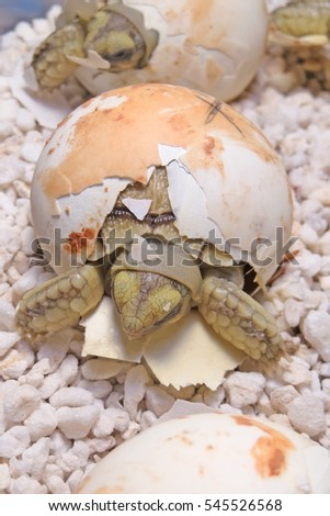 Cute portrait of baby tortoise hatching (Africa spurred tortoise) ,Birth of new life ,Closeup of a small newborn tortoise on warm light