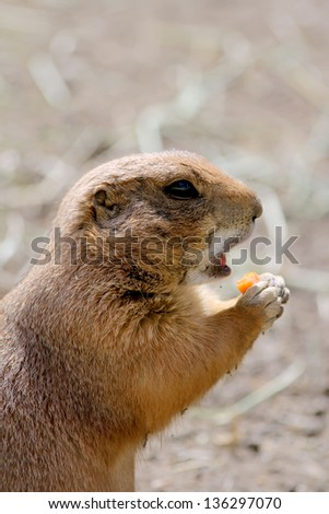 Cute prairie dog open mouth for carrot biting.