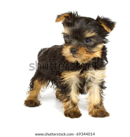 Cute pretty Yorkshire terrier puppy dog sitting. isolated on white background - stock photo