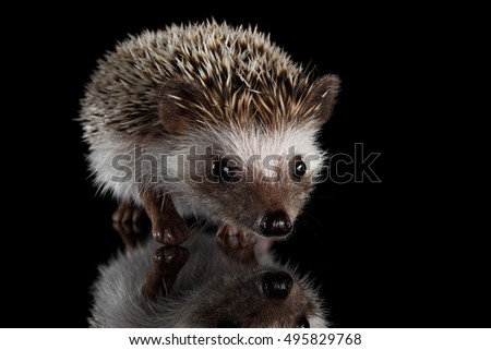Cute Prickly Hedgehog, front view, isolated on Black Background with Reflection