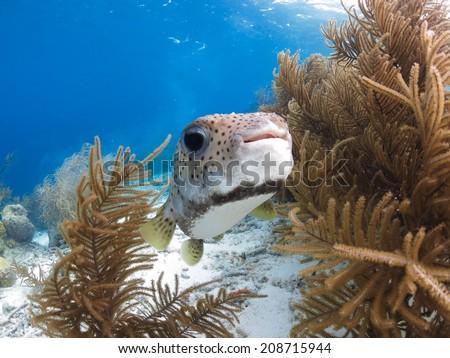 Cute Puffer Fish  - stock photo