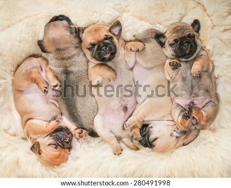 cute pug chug puppies on a lambskin blanket (SHALLOW DOF on one puppy)  - stock photo
