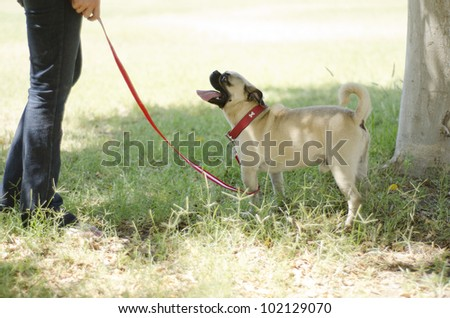 Cute pug dog on a leash looking at its owner - stock photo