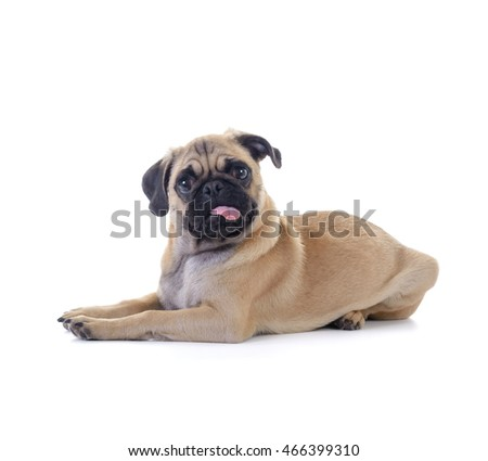 Cute pug dog puppy lying. isolated on white background