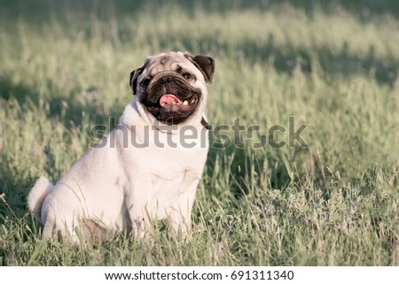 Cute Pug dog siting in green grass licking its nose with tongue