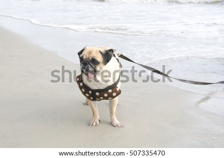 cute pug dog walking on the beach