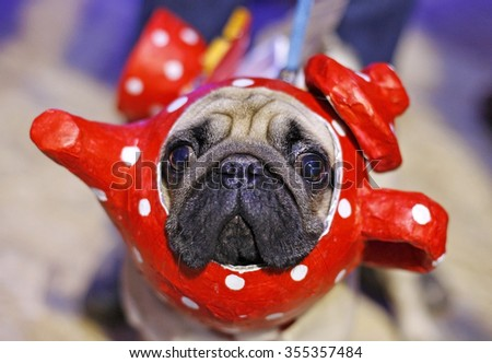 cute pug dog with red tea service costume on a head  - stock photo