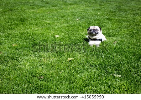 Cute pug enjoying a sunny day in the grass.