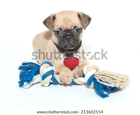 Cute Pug puppy laying with a dog toy on a white background.