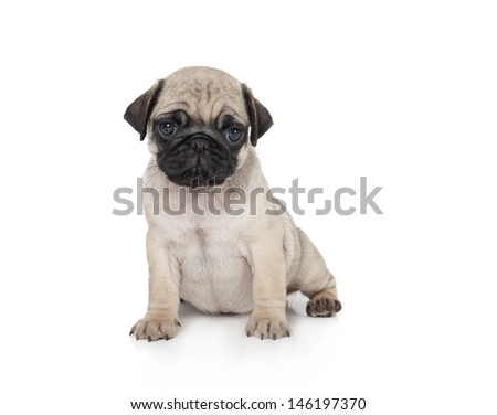 cute pug puppy on a white background - stock photo