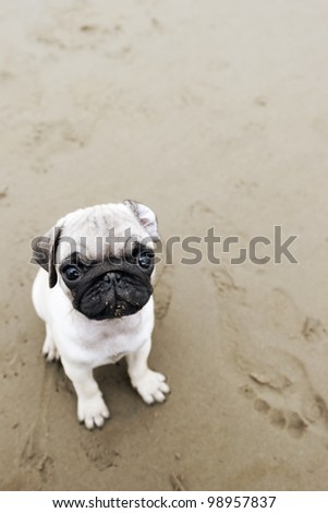 Cute pug puppy on wet beach sand