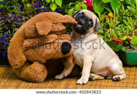 Cute Pug Puppy Playing with a Stuffed Animal.