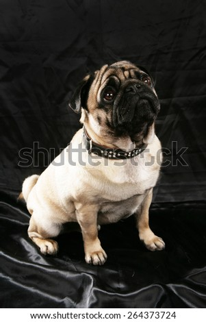 Cute pug sitting on black background looking up