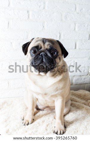 Cute pug with pink toy against a white brick wall. The image of the background. Selective focus. - stock photo