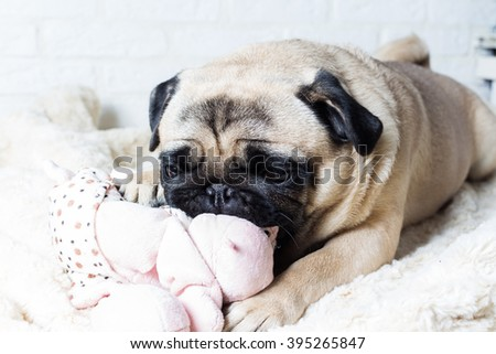 Cute pug with pink toy against a white brick wall. The image of the background. Selective focus.