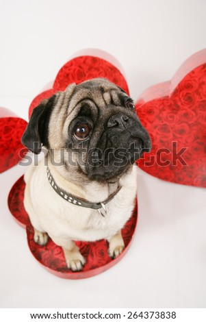 Cute pug with red hearts sitting